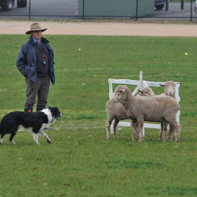 Sheep Dog Trials this Year